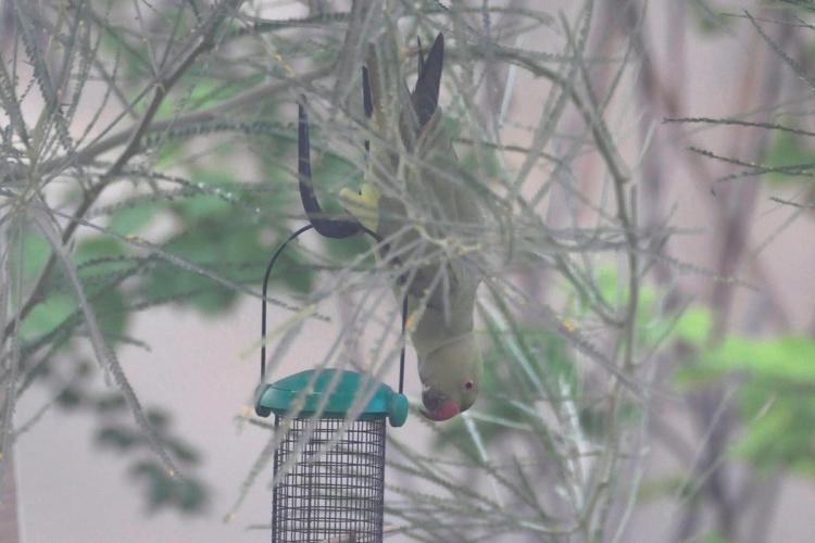 parakeets03
