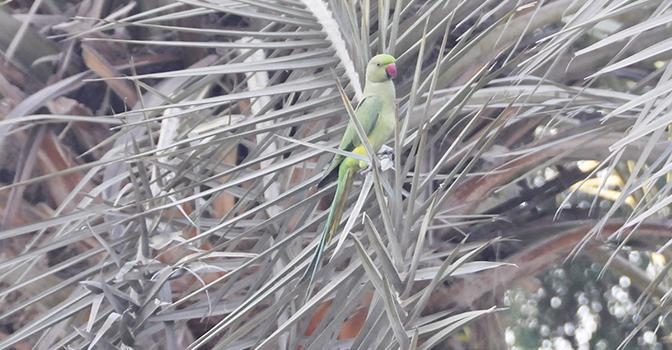 parakeetsFT